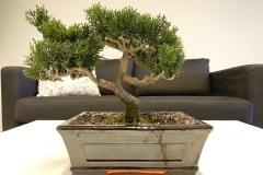 Bonsai-Baum-Anlage-Natur-Laub-Blatt-Gruen-Weiß