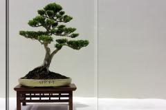 Bonsai-Baum-Klein-Rahmen-Wächst-Japanisch