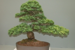 Bonsai-Baum-Miniatur-Japan-Kiefer