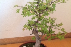 Bonsai-Baum-Topfpflanze-Bäumchen-Natur-Immergruen