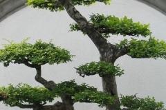 Bonsai-Bonsai-Baum-Klein-Baum-Pflanze-Gruen
