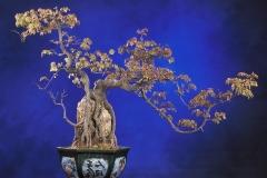 Bonsai-Dreispitz-Ahorn-Bonsaibaum-Baum-Zierpflanze