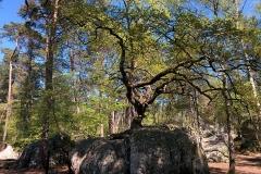 Bonsai-Eiche-Canon-Fels-Eiche-Wald-Von-Fontainebleau