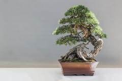 Bonsai-Kiefer-Pflanze-Kultur-Kuenstlerisch