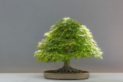 Bonsai-Pflanze-Japan-Ahorn-Kultur-Japan-Gartenbau