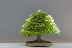 Bonsai-Pflanze-Japan-Ahorn-Kultur-Japan-Gartenbau