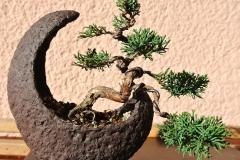 Bonsai-Wacholder-Mondschale-Natur-Japanisch