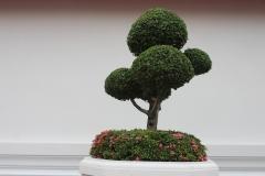 Bonsaibaum-Baum-Bonsai-Bäumchen-Topfpflanze-Klein