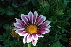 Blumen-Gazanie-Zierpflanze