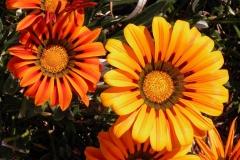 Gaensebluemchen-Blume-Orange-Gazanien-Hell-Natur