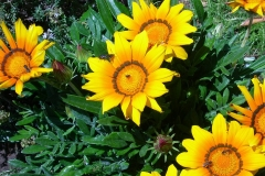 Gazanias-Blumen-Gelb-Orange-Bluete-Insekten