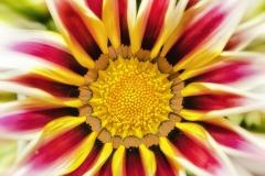Gazanie-Bluete-Mittagsgold-Sonnig-Sonnengelb