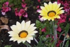 Gazanien-Blume-Creme-Gelb-Bluete-Sommer-Bluehen