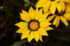 Gazanien-Blume-Fruehling-Gelbe-Blume-Fokus