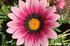 Gazanien-Blume-Sommer-Im-Freien