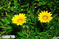 Gazanien-Blumen-Blueten-Gelb-Hellgelb-Zitronengelb