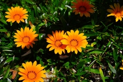 Gazanien-Blumen-Blueten-Gelb-Orange-Bluehen