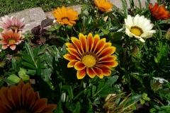 Gazanien-Blumen-Gazania-Rigens-Orange-Sommer