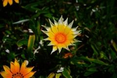 Gazanien-Blumen-Gelb-Sternfoermig-Zackenfoermig