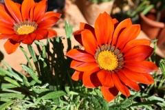 Gazanien-Blumen-Pflanzen-Garten-Natur