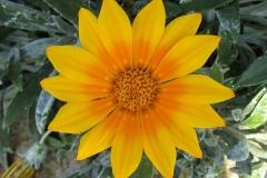 Gazanien-Gaensebluemchen-Blume-Gelb-Natur-Fruehling