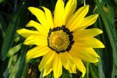 Gazanien-Gazania-Rigens-Asteraceae-Blume