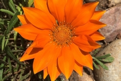 Gazanien-Hell-Orange-Blume-Fruehling
