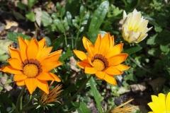 Gazanien-Orange-Blume-Flora-Bluete-Sommer-Sonne