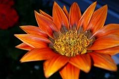 Gazanien-Orangefarbene-Blume-Garten-Pflanzen-Flora