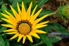 Gazanien-Pflanze-Blume-Aster-Gelb-Natur-Gruen