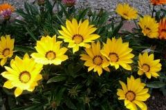 Gazanien-Schatz-Blume-Blueten-Pflanzen-Gelb-Garten