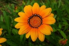 Geaeugte-Gazanie-Mittagsgold-Mittagsblume-Bluete-Gelb