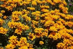 Natur-Blume-Gelb-Gazanien-Massiv