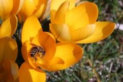 Biene-Blume-Krokus