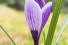 Blume-Natur-Pflanze-Natuerlich-Krokus-Ostern