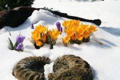 Blume-Winter-Krokus-Verschneit-Winterlich