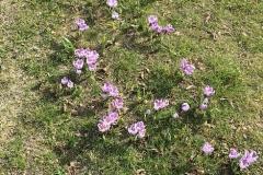 Blumen-Fruehling-Krokus