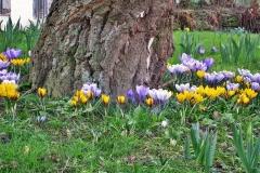 Fruehling-Im-Garten-Krokusse-Birkenstamm-Birke