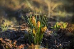 Fruehling-Krokus-Gelb-Blumen-Bluehen-Sanfte-Blume