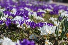 Fruehling-Krokusse-Violett-Pflanze-Blumen-Lila