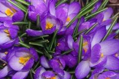 Krokus-Bestaendig-Fruehlings-Blumen
