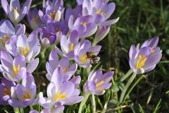 Krokus-Biene-Blume-Bestaeubung-Fruehlings-Krokus