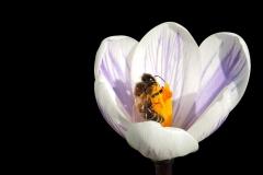 Krokus-Biene-Fruehlingsanfang-Bluete