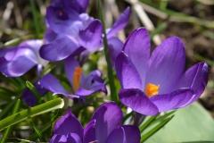 Krokus-Bluete-Lila-Blume-Blume-Lila-Fruehlingsanfang