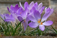 Krokus-Blume-Fruehling-Lila-Lila-Blume-Violett