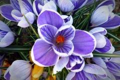 Krokus-Blume-Fruehling-Natur-Lila-Lila-Blume-Bluete-1