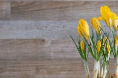 Krokus-Blume-Pflanze-Gelb-Blueten-1