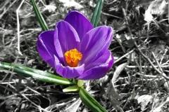 Krokus-Einzelne-Blume-Fruehling