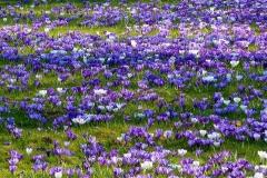 Krokus-Fruehling-Fruehlings-Krokus-Blume-Violett