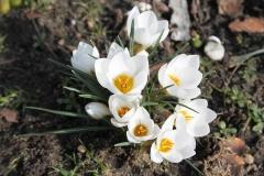 Krokus-Fruehling-White-Blueten-Garten-Natur-Blumen